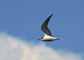 Annual Yakutat Tern Festival - a party for birdwatchers and more!